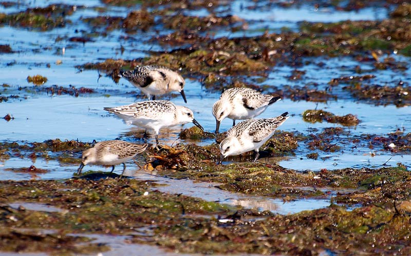 rsz sandpipers